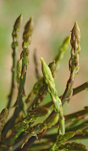 Asparago selvatico sardo corbula for Cucinare asparagi